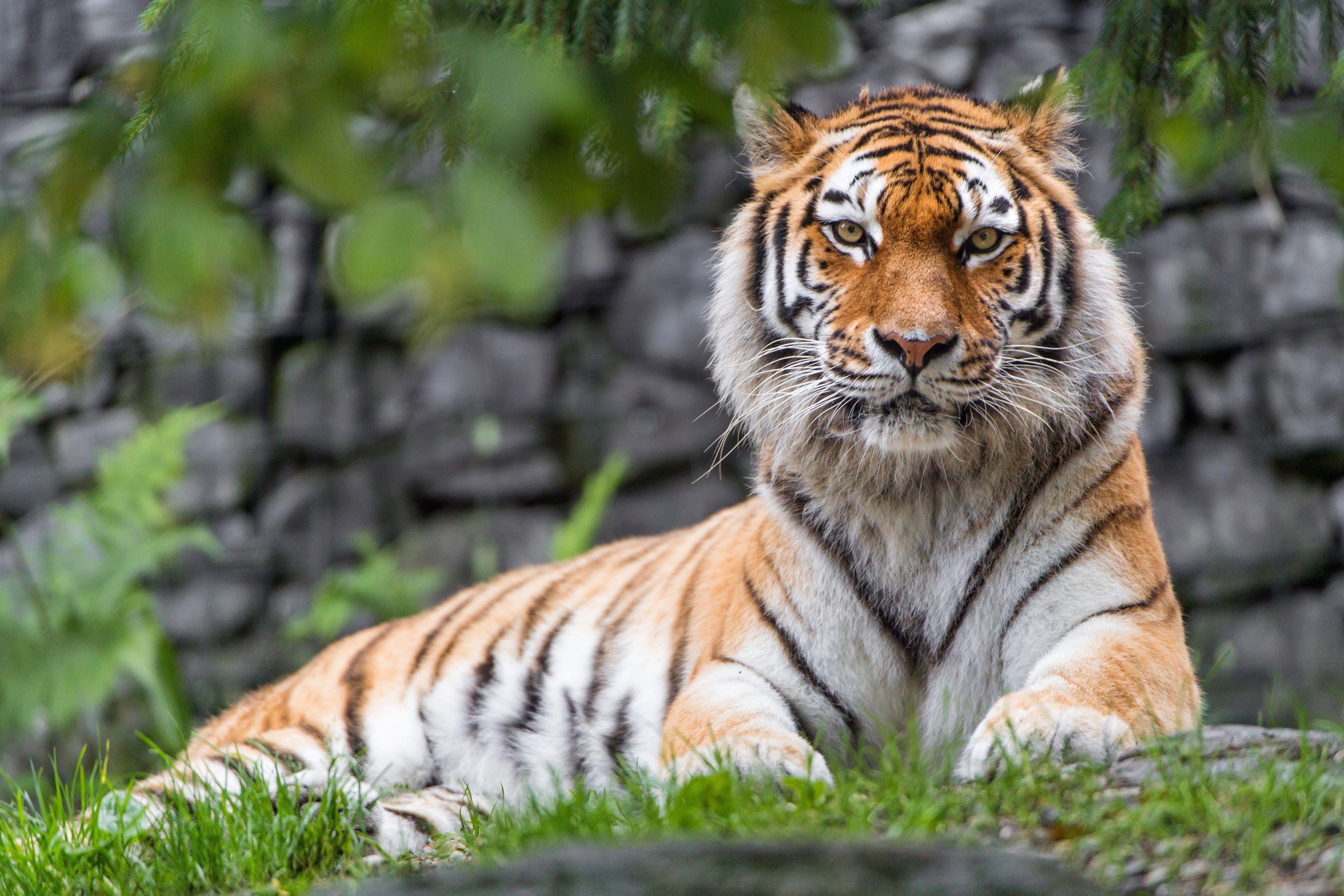 3840x2560 siberian tiger 4k wallpaper download free