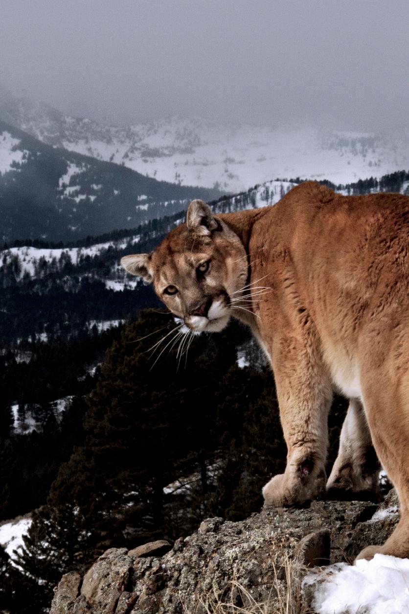 Mountain Lion C Cxs Wild Cats Animals Wild Animals Beautiful