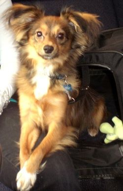 Papillon Sheltie Mix They All Look A Little Bit Different But I Am