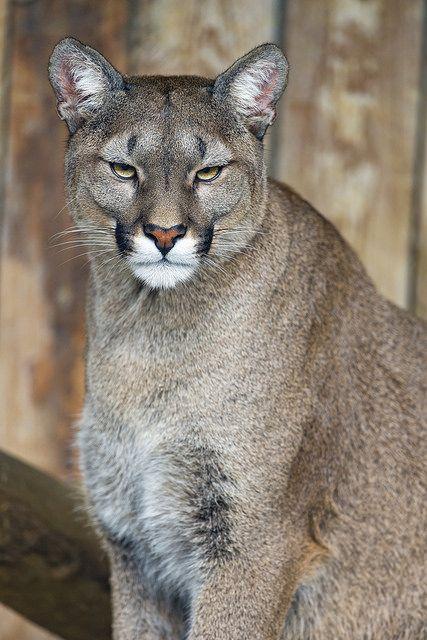 Contra la voluntad Cancelar Erudito  Attentive puma | Big cats, Wild cats, Majestic animals