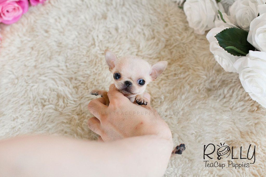 Coco Chihuahua Chihuahua, Teacup puppies, Puppies