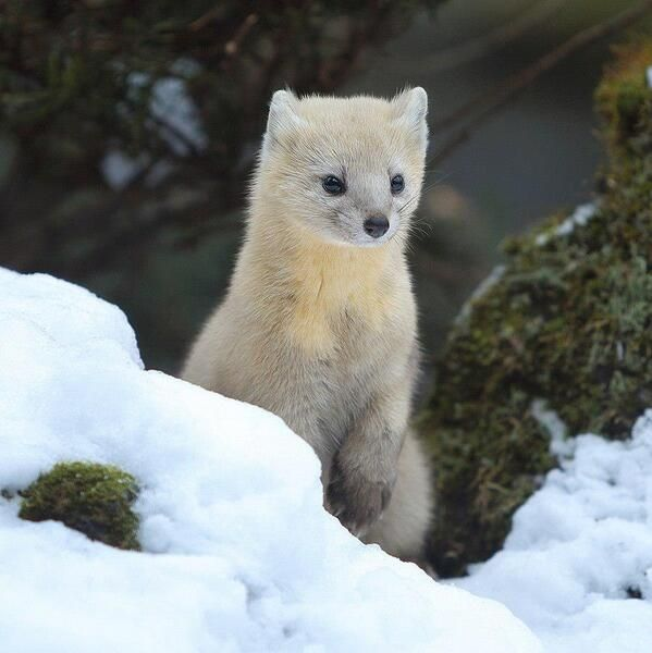 Under the right circumstances, these cute animals wouldn't hesitate to kill you dead. Pearl Of The Siberian Taiga Sable Rare Animals Animals Wild Wild Animals Pictures