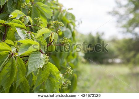 Nature spring summer flowers of wild grapes background. Beautiful background; small depth of field