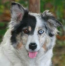Heterochromia Iridum Dog With Mismatched Eyes Wall Eye Blue