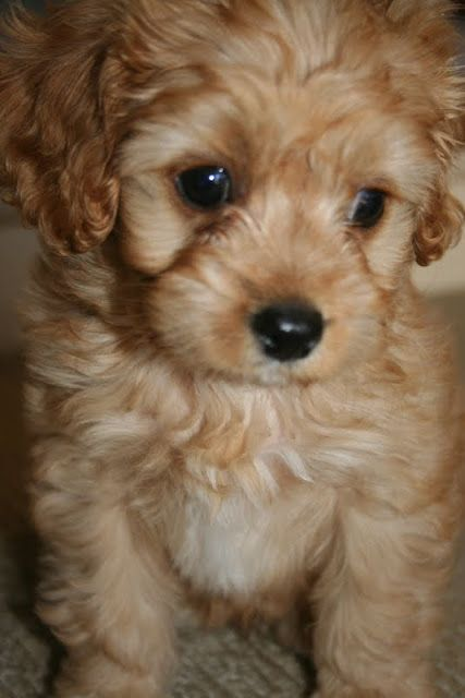 Lilyfield Life Introducing Charlie Our Cavoodle Cute