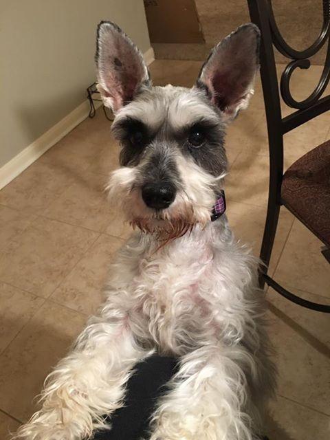 Tyler From Texas Miniature Schnauzer Dogs Fur Babies