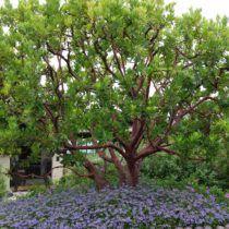 Arbutus Marina Strawberry Tree Arbutus Marina Arbutus Tree