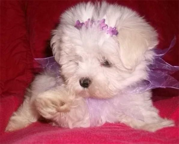Maltipoo Puppies For Sale For Sale Adoption Teacup Morkie And