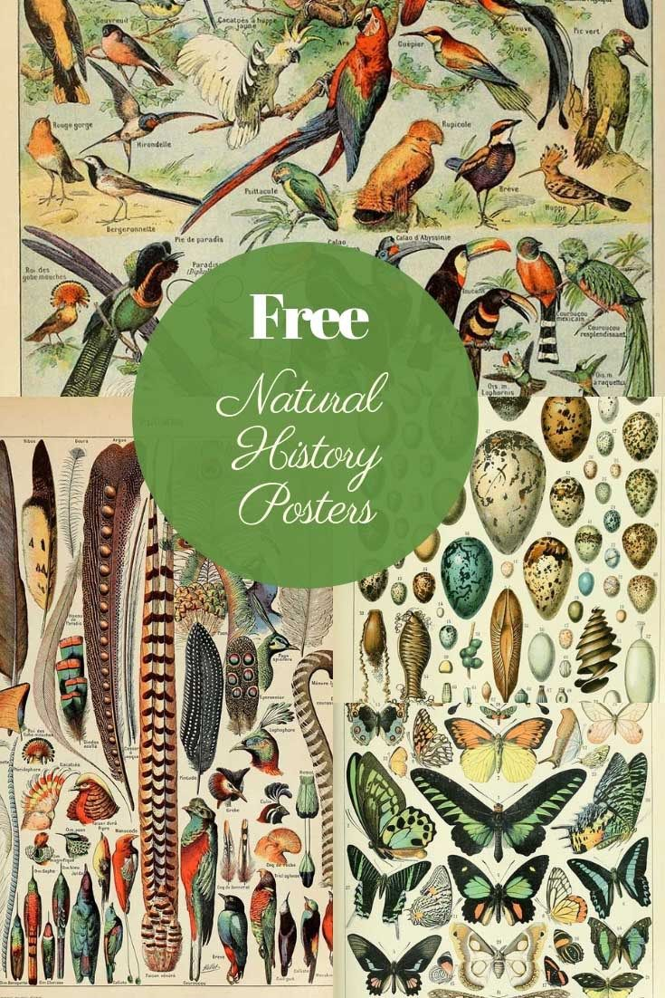This is a fabulous free printable collection of natural history posters. More specifically, birds, insects and butterfly posters by Adolphe Millot. #freeprintable #naturalhistory #history