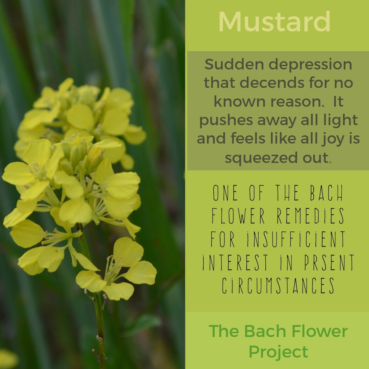 Bach Flower Remedy Mustard Bach Flowers Healing Herbs Medicinal Herbs
