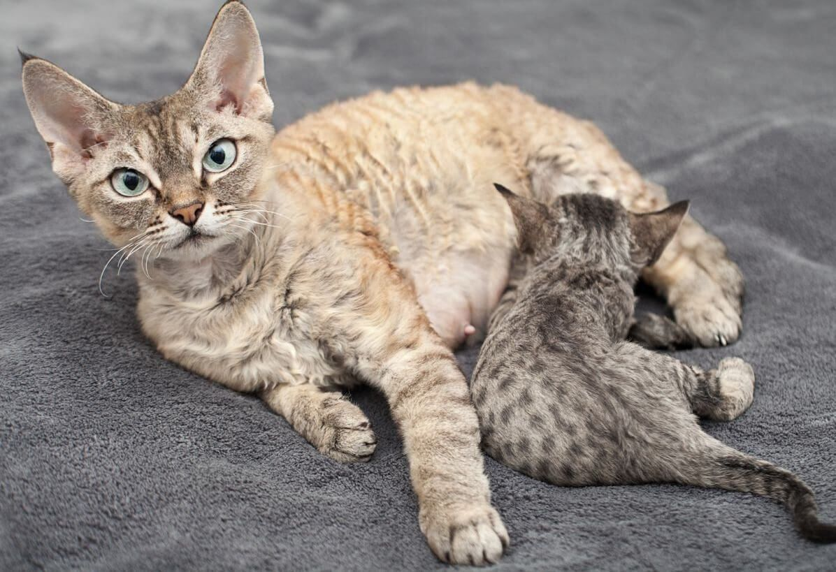 All You Need To Know About Pregnant Cat (With images