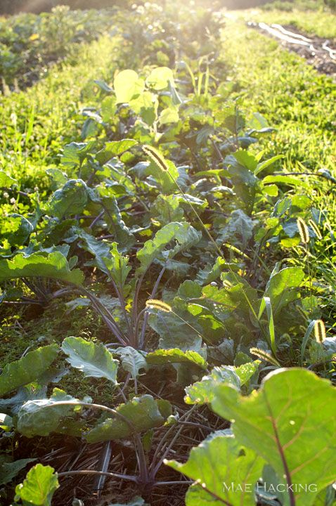 Leafy greens growing on the farm at Ninety Acres