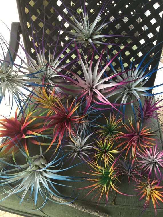9 Tillandsia Air Plants Bursting With Color 45 Gardens