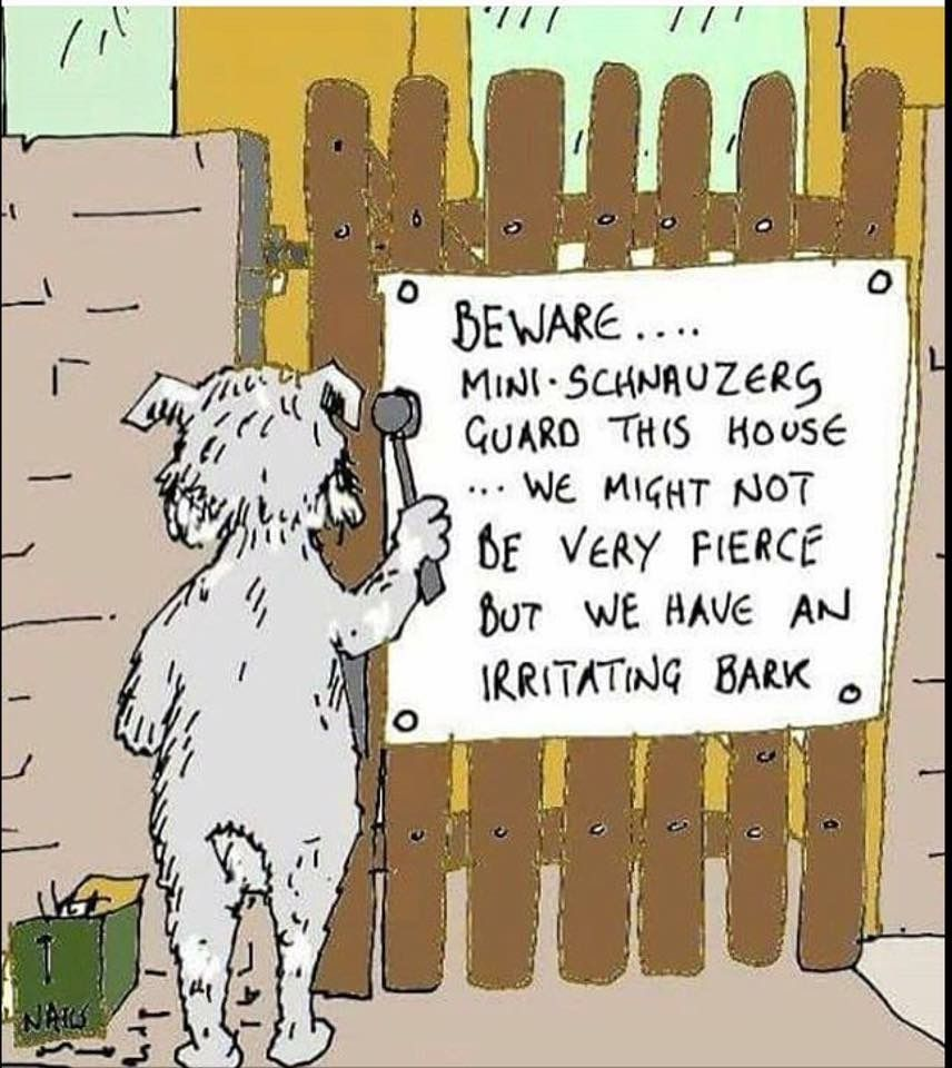 Miniature Schnauzer - Smart and Obedient   Mini schnauzer ...