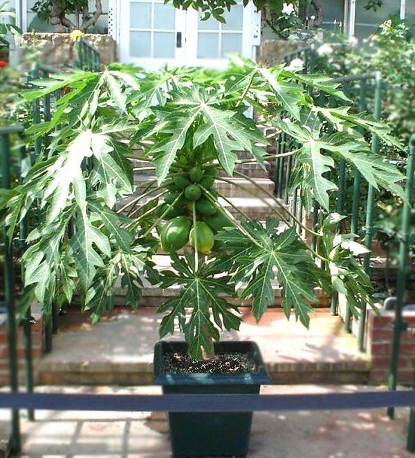 C mo cultivar papaya en tu jard n el fruto curry y tropical - Plantar arboles frutales en macetas ...