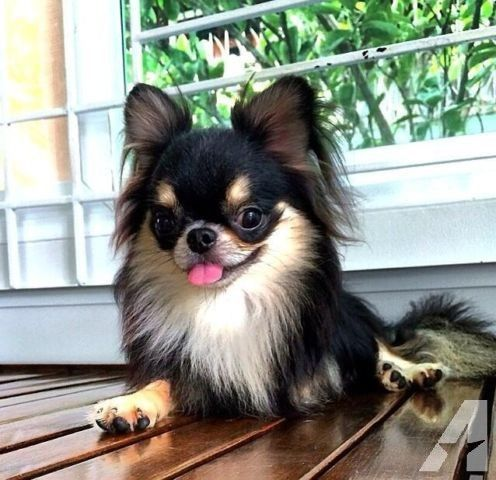 Long Haired Applehead Teacup Chihuahua For Sale Teacup Chihuahua Teacup Chihuahua For Sale Chihuahua For Sale