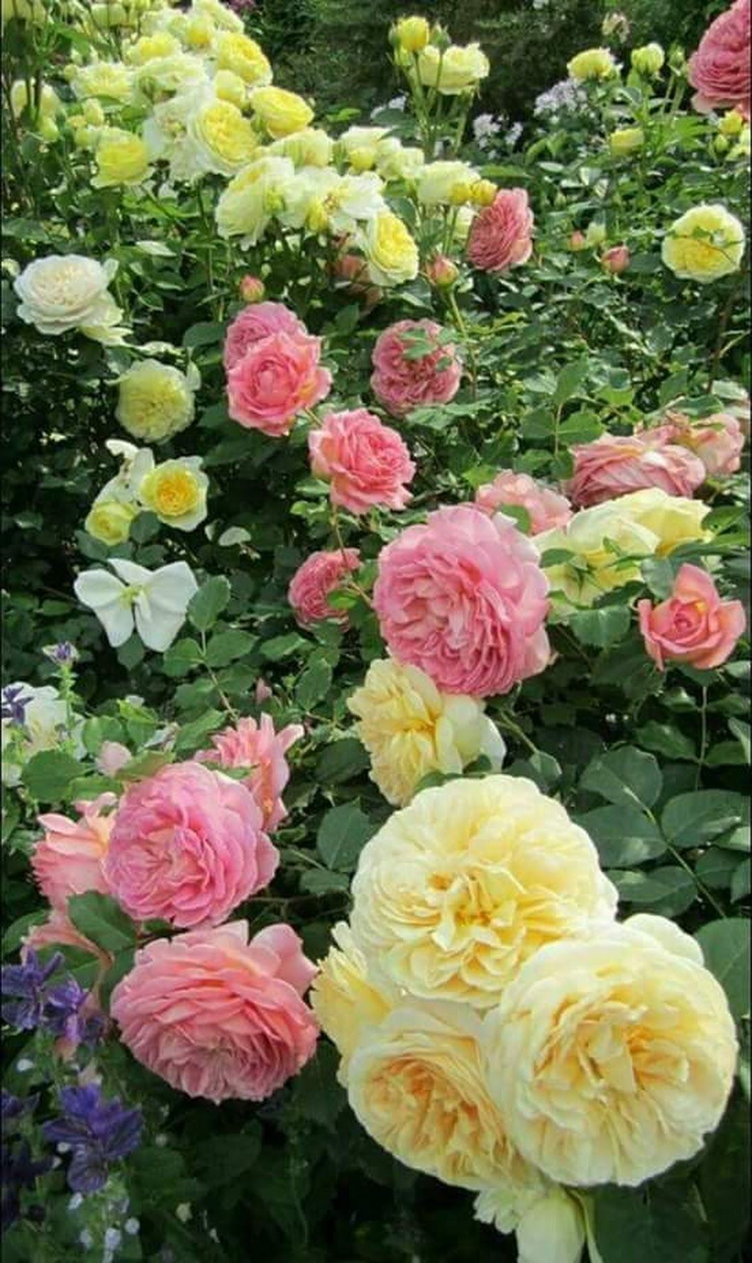 رداد ال الشيخ Beautiful Flowers Rose Garden Rose Plant Care