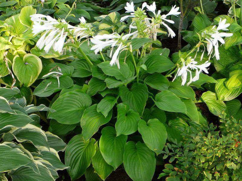 Hosta Plantaginea Royal Standard Large Heat Tolerant Hosta With