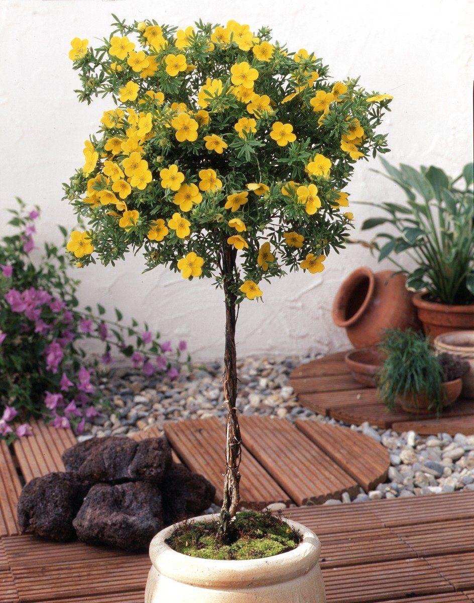 f nffingerstrauch zum st mmchen gezogen gelb bl hend 1 pflanze garten. Black Bedroom Furniture Sets. Home Design Ideas
