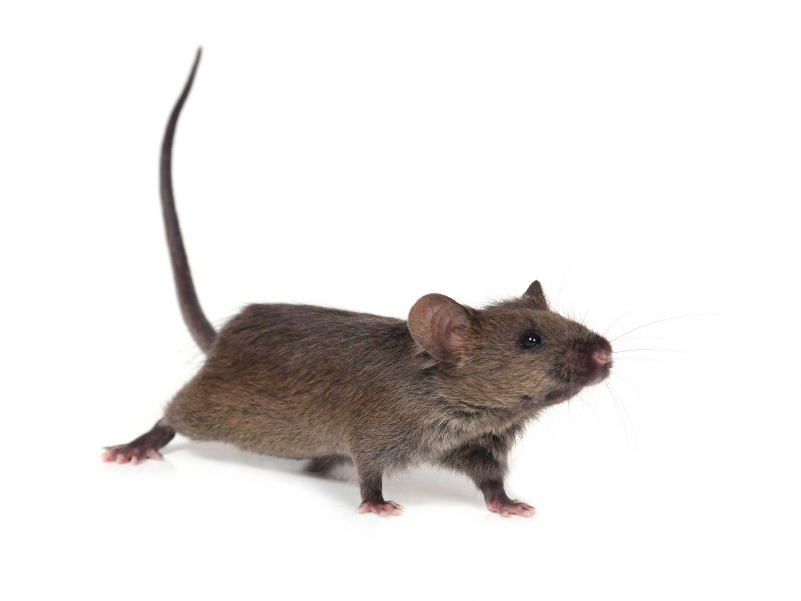 Simple Ratten im Garten