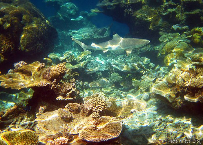 Reef shark. Coral reef of the Maldives. https://victortravelblog.com/2015/03/25/best-coral-reef-locations-maldives-or-great-barrier-reef/