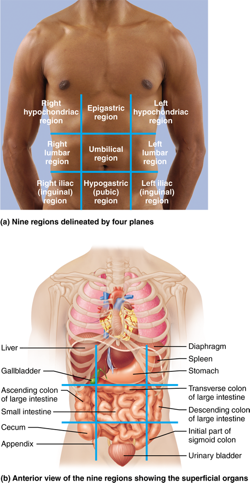 16 Many Internal Organs Lie In Membrane Lined Body Cavities Human