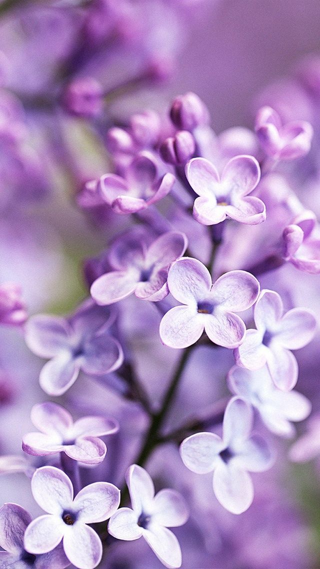 Lilac Bloom Purple Blurry Background Purple Flowers Purple Flowers Wallpaper Lilac Background