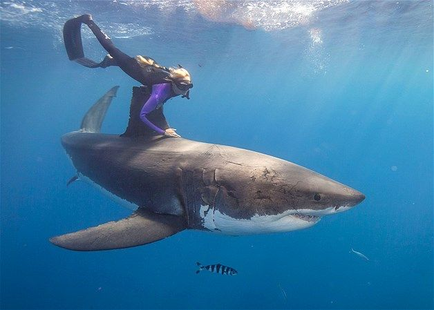 Ocean Ramsey é instrutora de mergulho e luta pela preservação dos tubarões. Ela viaja o mundo nadando com animais da espécie de forma a mostrar que estes predadores dos oceanos não são como o filme 'Tubarão' mostra. Aqui, ela chega bem perto de um tubarão branco .
