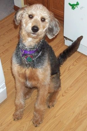 Airedoodle Hybrid Dogs Scruffy Dogs Dog Breeds