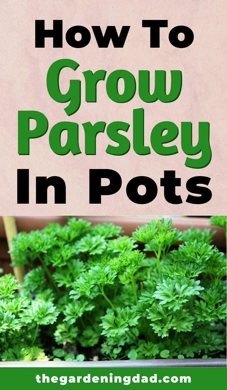 12 Quick Tips How To Grow Parsley The Gardening Dad Growing Parsley Container Herb Garden Growing Herbs Outdoors