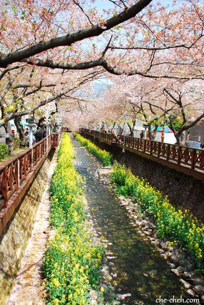 Cherry Blossom At Yeojwa Cheon Jinhae South Korea Cherry Blossom Blossom Tourist Spots