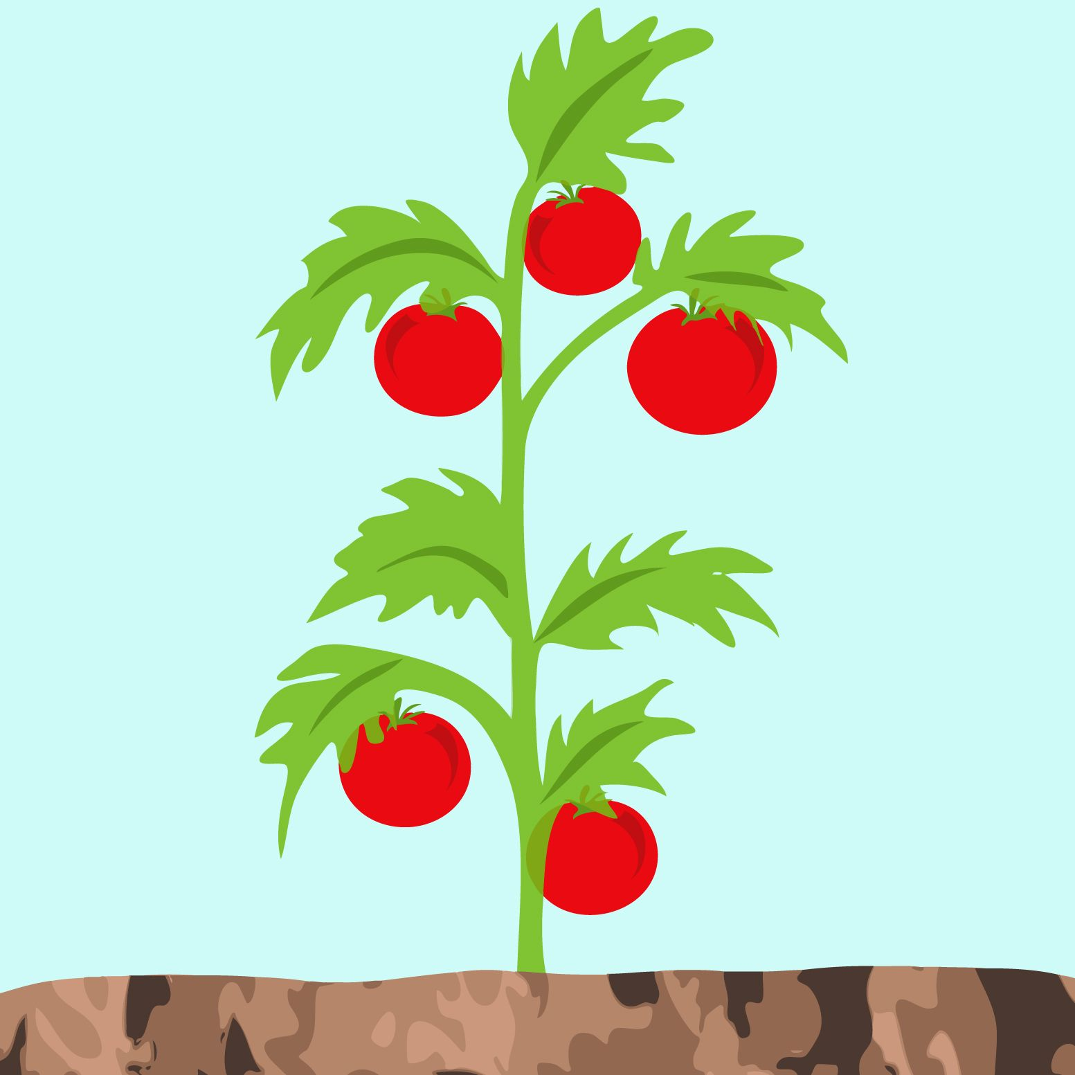 Image Result For Tomato Plant Drawing Tomato Plants Tomato Plant Drawing Plants
