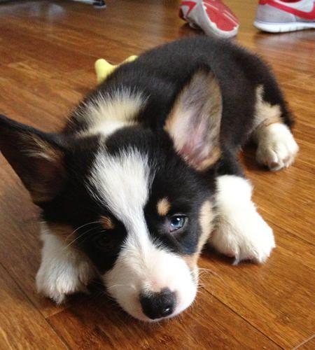 Tri Color Corgi Benedict Corgi Corgi Puppy Corgi Dog
