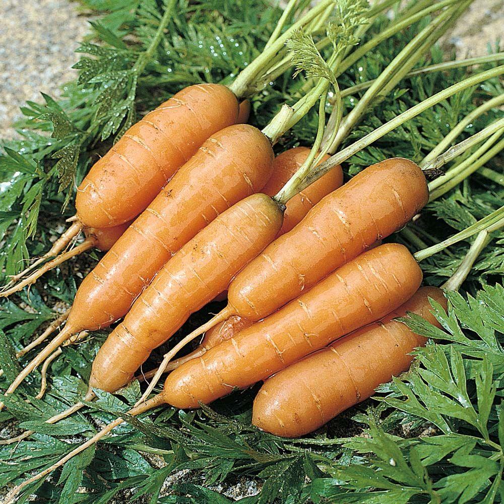 Carrot Adelaide F1 Hybriddaucus Carota Garden 400 x 300
