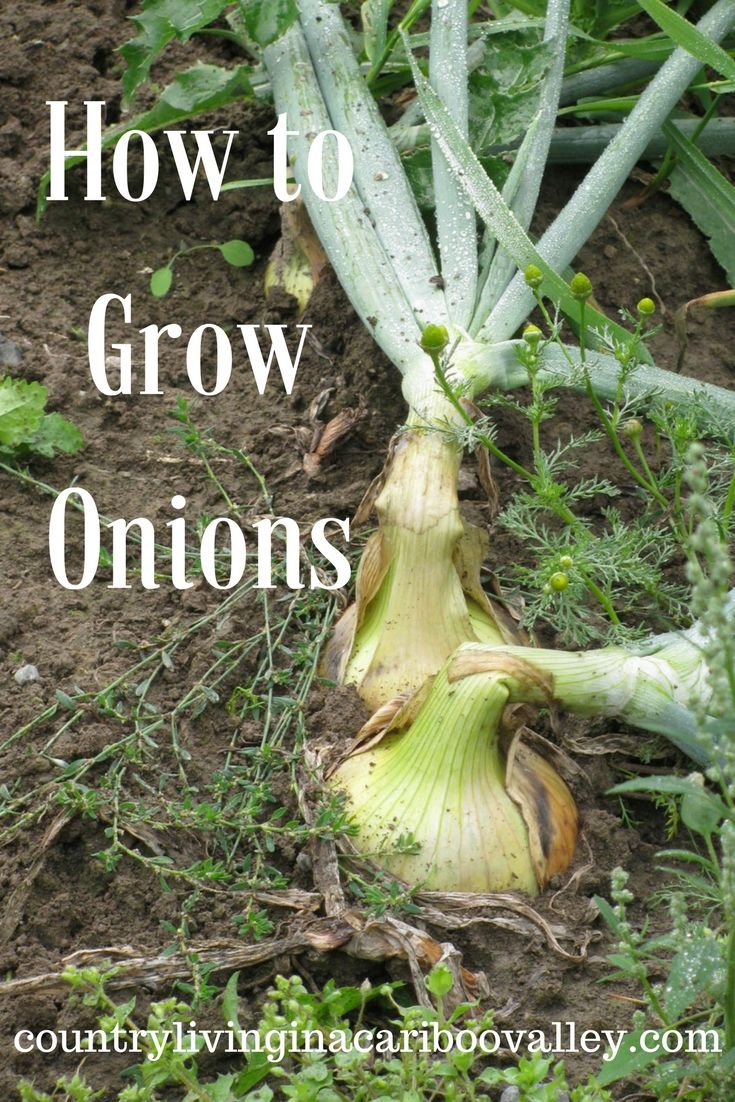 How To Grow Onions Easy Vegetables To Grow Growing 640 x 480