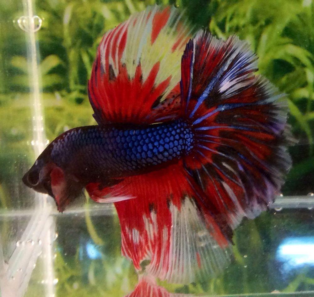 H83 Thai Import Blue & Red Multicolor Halfmoon HM Male Betta ...