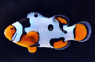 Picasso Premium Percula Amphiprion Percula Aquacultured Clownfish Aquacultured Clown Fish Saltwater Aquarium Fish Saltwater Fish Tanks