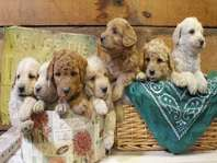 Pin By Marge Menacher On Labradoodles Retriever Puppy Dogs