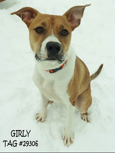UPDATE 2/7- ADOPTED!! Available now!  Tag #29306  Name is Girly  Mix Breed  Female  Approx. 2 years old  Approx. 45 lbs.  Super friendly!! Very playful and LOVES to run in the snow! Food motivated, appears house trained, knows basic commands, listens well.. Adoption fee is $100 with a $50 refundable spay deposit.  Located at 2396 W Genesee Street in Lapeer, MI. 810-667-0236 Adoption hours are M-F 9:30-12, 12:30-4:30, except closed at noon on Wednesday. NOW open on Saturdays from 10am-4pm!