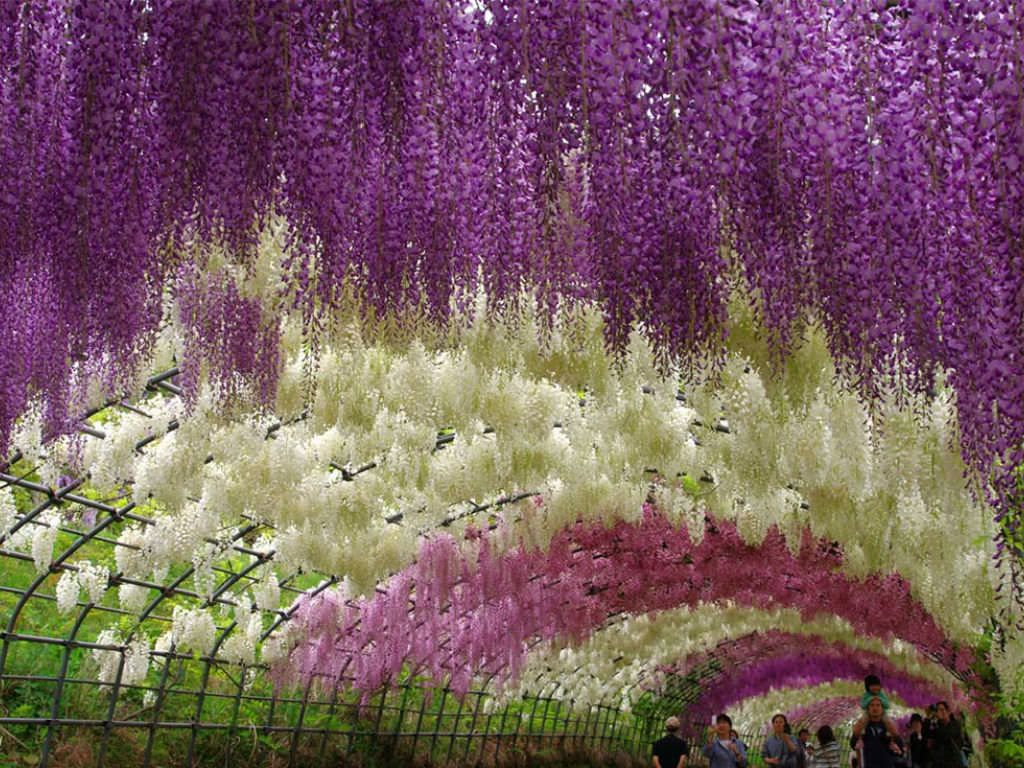 Surreal Wisteria Flower Tunnel In Japan World Of Flowering Plants Gazebo Decorations Planting Flowers Wisteria