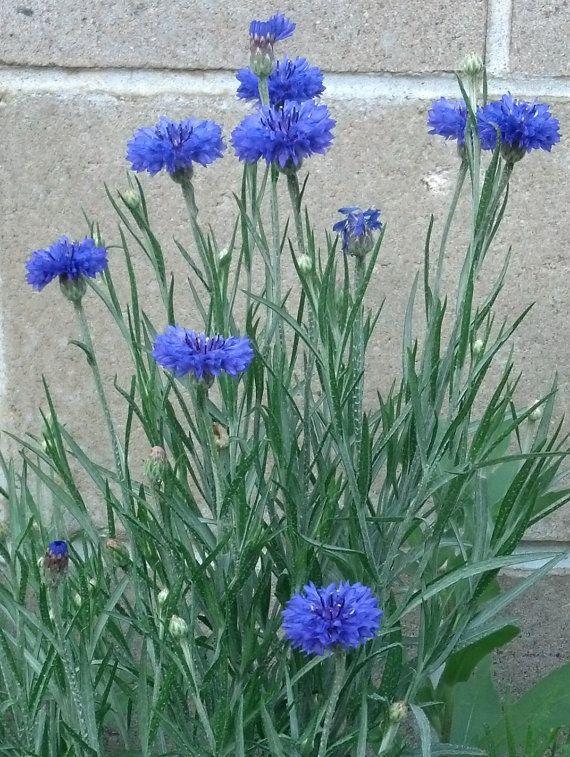 Blue Boy Bachelor Button Seeds 200ct Flower Garden Winter Garden Plants