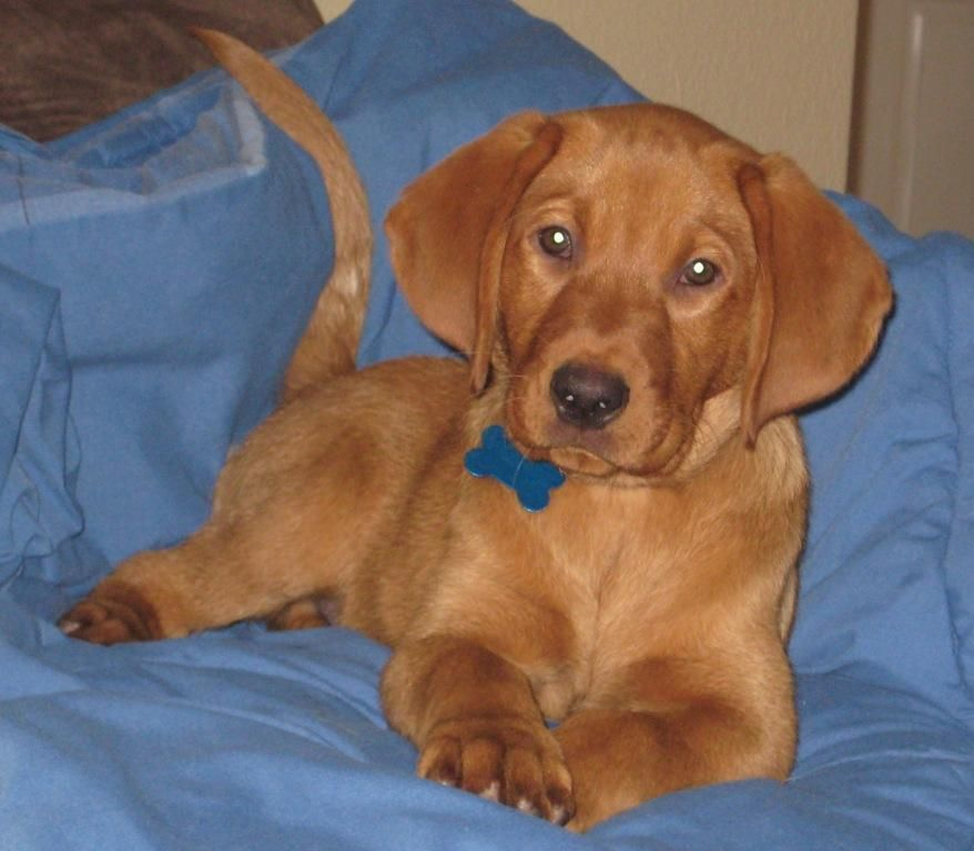 Red Fox Labrador Basically A Ginger Lab Cute Animals Animals Dogs