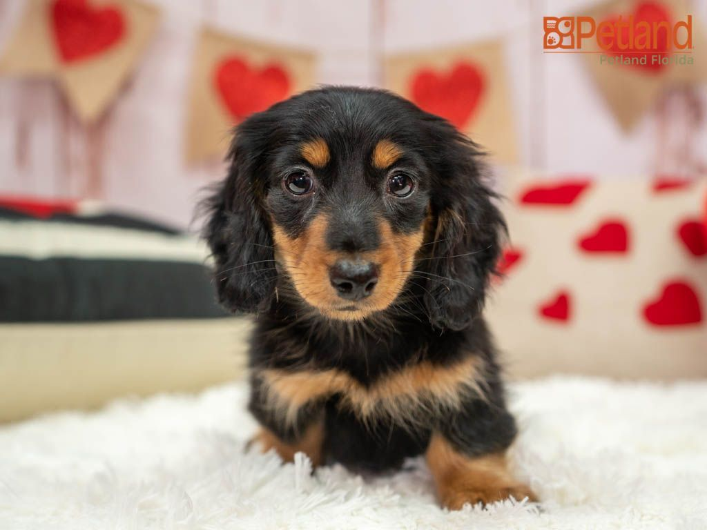 Petland Florida Has Top Quality Puppies From The Top 2 Usda Breeders Available For Purchase Stop By P In 2020 Dapple Dachshund Weenie Dogs Dachshund Puppies For Sale