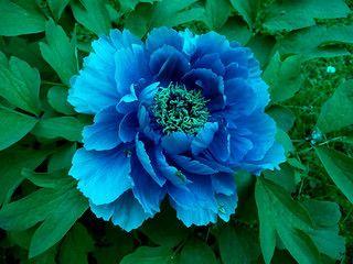 Peonia Blu - Blue Peony #bluepeonies
