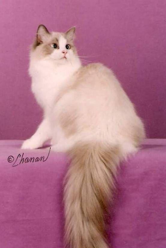 Lilac Point Ragdoll Kitty So Pretty Cats Ragdoll Cat Cute Cats