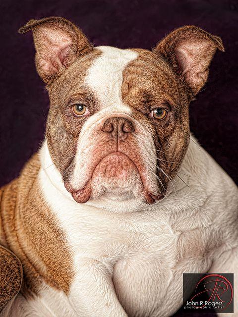 Sir Jack Old English Bulldog Old English Bulldog Bulldog