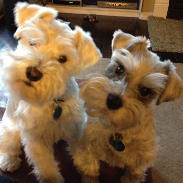 Riley and Lola the Schnauzers They are so cute!!
