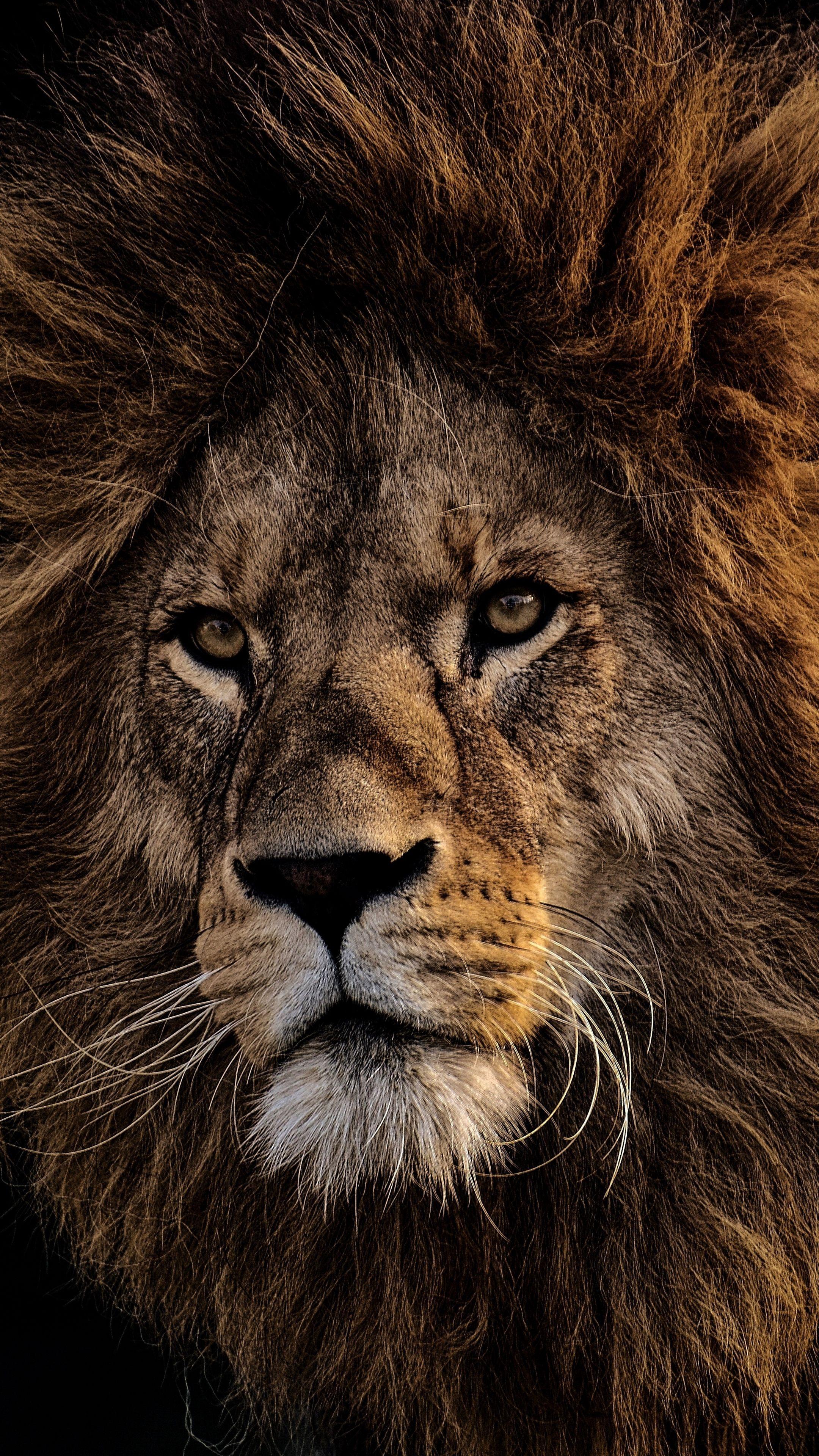 Обои лев, морда, животное. Животные foto 7