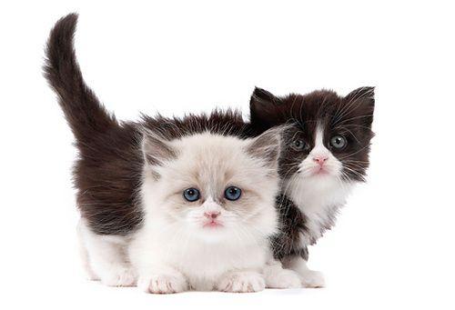 Having Only Like One Other Petite Friend But Loving Them Extra For It Munchkin Kitten Kitten Adoption Cute Little Kittens