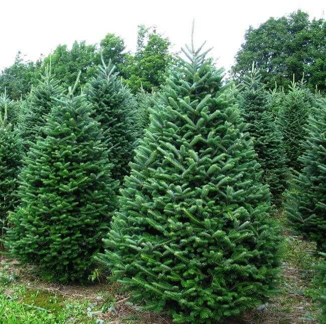 Christmas Tree Balsam Fir Tree Christmas Tree Scent Cool Christmas Trees